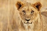 5_Lion-Cub_Gomes
