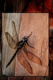 6_DragonFly_Crichton